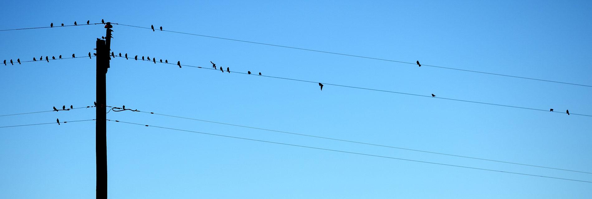 Fåglar som sitter på telefonledningar